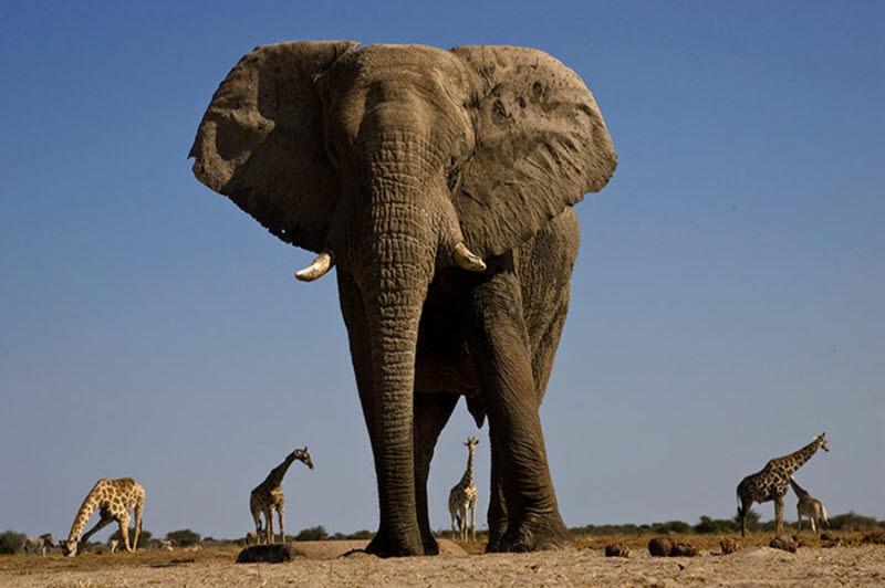 Африканский слон, вид снизу