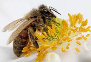 Популяция пчел сокращается гигантскими темпами